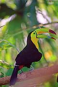 Keel-billed Toucan - Belize.