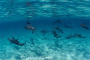 bottlenose dolphins, Tursiops truncatus, chasing bar jacks, Caranx ruber, Abaco Islands, Bahamas ( Western Atlantic Ocean )