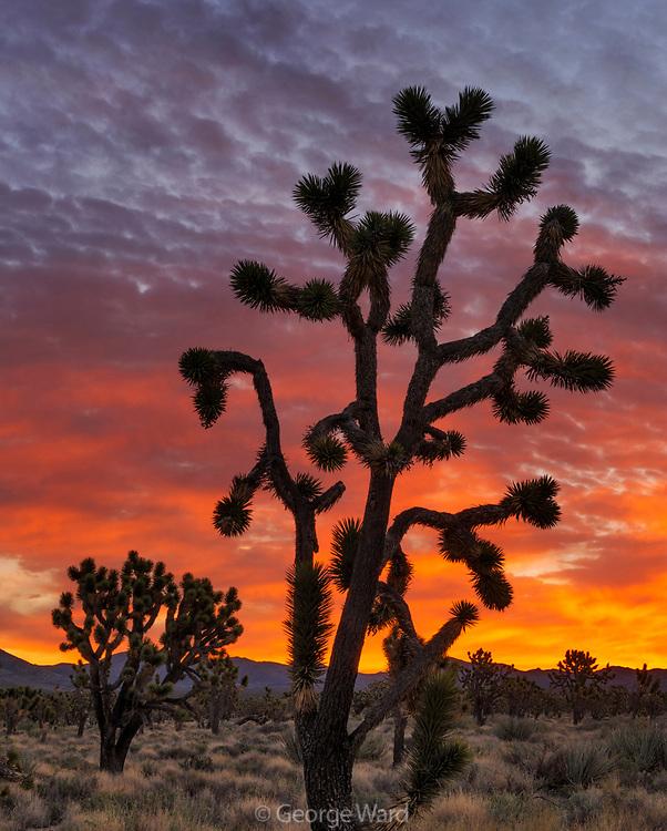 Joshua Trees before Dawn, Mojave National Preserve, California