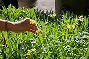 Picking Wood-sorrel. Foraging for wild edibles in Los Angeles neighborhood Echo Park. Nance Klehm leads her Urbanforage guided walk showing and educating attendees about various greens, herbs and other edibles readily found along streets, lots and front yards. Los Angeles, California, USA