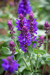 Salvia nemorosa 'Blue Marvel'