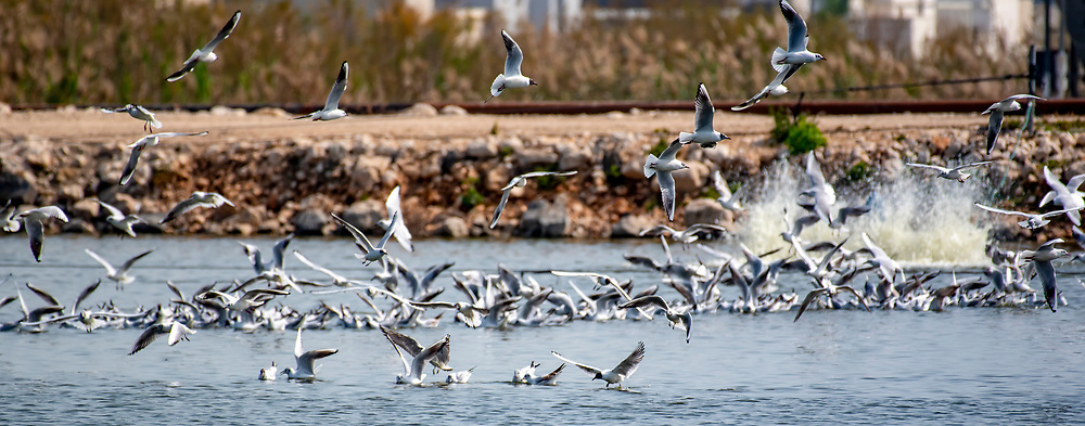 Seagulls feed at a agricultural fish pool