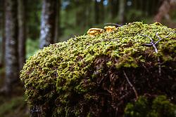 THEMENBILD - Echte Pfifferling, Eierschwammerl oder Rehling auf Moos im Wald, aufgenommen am 03. August 2019 in Bruck a. d. Grossglocknerstrasse, Oesterreich Real chanterelles, chanterelles or raehling on moss in the forest in Bruck a. d. Grossglocknerstrasse, Austria on 2019/08/03. EXPA Pictures © 2019, PhotoCredit: EXPA/Stefanie Oberhauser