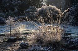 Sunlight highlighting Deschampsia and Corokia cotoneaster on a frosty winter morning.