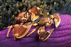 A pair of Porcelain Crabs, Neopetrolisthes maculata, perch on the colorful base of their host, a Magnificent Sea Anemone, Heteractis magnifica. Mergui Archipelago, Myanmar/Burma, Andaman Sea, Indian Ocean