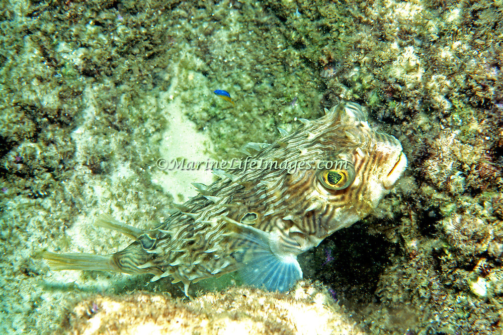 Striped Burrfish inhabit inshore areas of sand and seagrass in Florida and continental coasts to Maine and Brazil; picture taken Panama City, Florida.