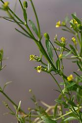 Blaartrekkende boterbloem, Ranunculus sceleratus