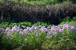 Phlox × arendsii 'Utopia' AGM