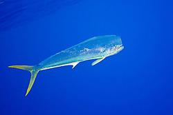 mahi-mahi, dorado, or common dolphin-fish, Coryphaena hippurus, adult bull free swimming, Kona Coast, Big Island, Hawaii, USA, Pacific Ocean