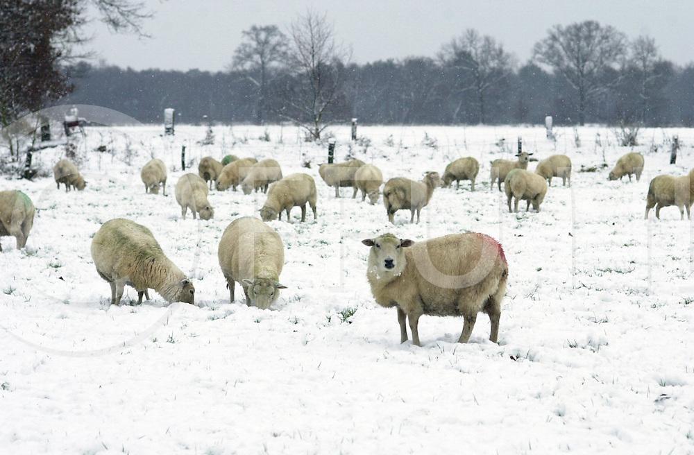 fotografie frank uijlenbroek©2001 michiel van de velde.011227 Ommen/Vilsteren ned.Winter in Salland:.Schapen onder de rook van de Gasunie in de sneeuw.