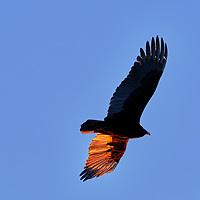 20190305-vulture BIF