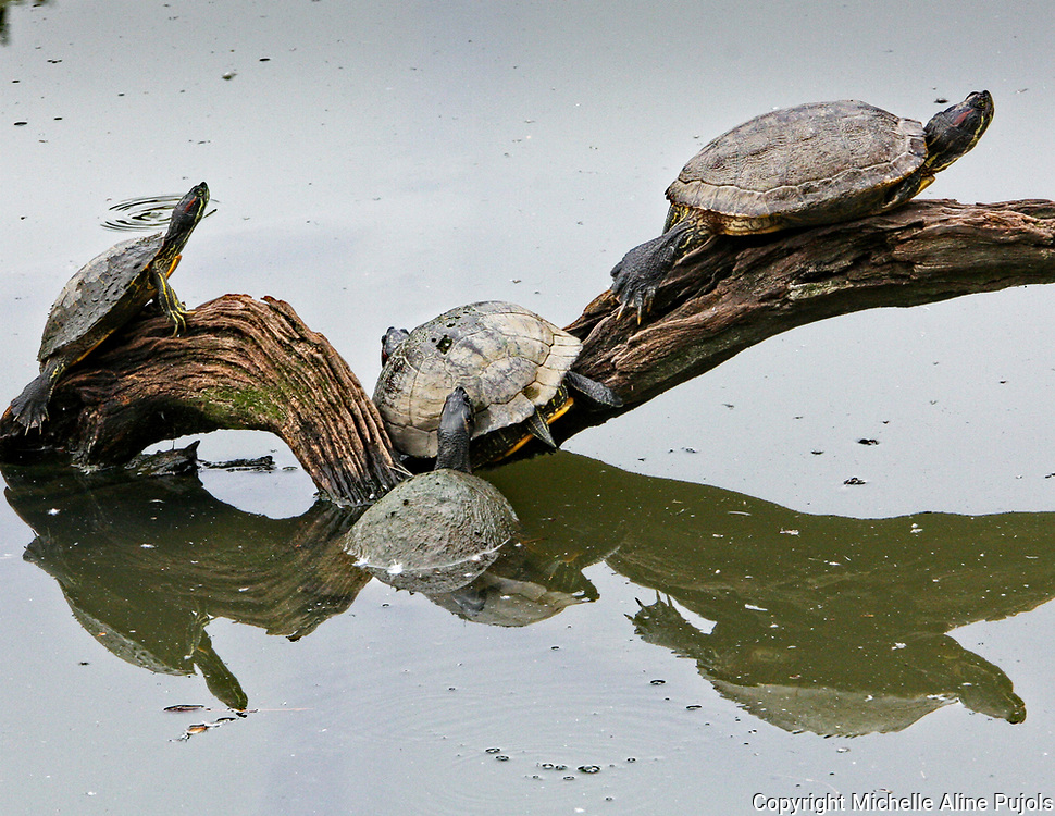 Turtles on a branch in the water.