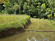 Bright green paddy rice seedlings growing in terraces in Tetebatu village, Lombok, Indonesia