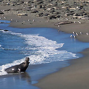 Northern Elephant Seal, (Mirounga angustirostris)  Dominant male bellows challenge. California.