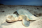 Kemp's ridley sea turtle, Lepidochelys kempii ( critically endangered species ), laying eggs on beach, Rancho Nuevo, Mexico ( Gulf of Mexico )