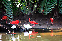 amazonian Scarlet Ibis Eudocimus ruber is a species of ibis that occurs in tropical South America