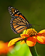 Monarch Butterfly, Mexican Sunflower, Rural Garden, Berks Co. PA