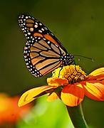 Monarch Butterfly, Mexican Sunflower, Rural Garden, Berks Co. PA