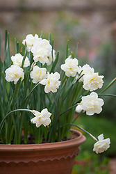 Narcissus 'Rose of May' in a terracotta pot