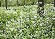 Cow Parsley, anthriscus sylvestris, growing amongst cricket bat willow trees, Salix alba Caerulea, Suffolk, England