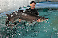 Biologist Robinson Orozco moves a 400 lb. female beluga sturgeon to spawn with males at Sturgeon AquaFarms in Bascom, Florida, February 8, 2013. If an application submitted last year to the U.S. Fish and Wildlife Service is approved they will have a monopoly on U.S sales of beluga caviar. Beluga caviar is considered to be the best anywhere. All U.S. sales and imports of beluga have been banned since 2005 when federal officials recognized that beluga sturgeon had been brought to the brink of extinction by overfishing, pollution and loss of habitat in the Caspian Sea. REUTERS/Michael Spooneybarger  (UNITED STATES)