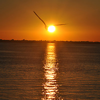 Sunset Seagull was taken about a year ago on a Friday evening at sunset while having dinner with several friends at Snoopy's in the island. I took several pictures that evening and just as I snapped this photo, a seagull flew right through the picture and created one of my favorite images.