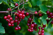 Red current bush with currents