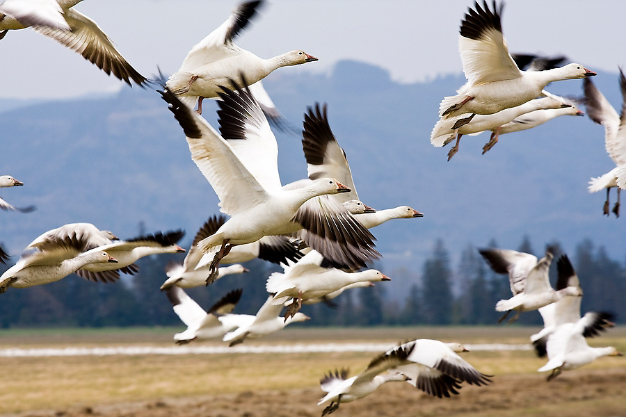 Snow geese take flight from a farmer's field in Skagit Valley, Washington, where thousands winter each year before traveling to the Arctic to nest.