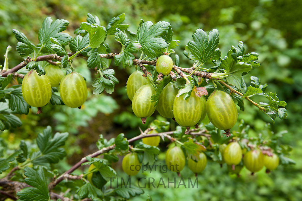 Gooseberries, Ribes grossularia,  in English cottage garden in Swinbrook in The Cotswolds, Oxfordshire, UK