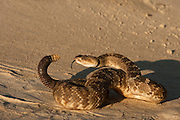 Black-tailed Rattlesnake (Crotalus molossus)<br /> CAPTIVE<br /> USA<br /> HABITAT & RANGE: Rocky mountainous areas; among rimrock and limestone outcrops, wooded stony canyons, chaparral, rocky streambeds Southwestern USA & Mexico