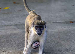 EXCLUSIVE: This may look like a scene from the jungles of Africa but these stunning images were taken in a Fort Lauderdale airport carpark. These vervet monkeys, native to southern Africa, have been living happily in South Florida for over 70 years after they escaped from a research facility in the 1940s. Bizarrely, the adorable creatures are regularly seen swinging into the Park 'N Fly, which is a discount parking lot on the outskirts of Fort Lauderdale airport. Each morning, the brazen mammals clamber from the cover of the surrounding mangroves to seek out food from bemused and curious tourists. These incredible snaps captured a group of 10-12 monkeys enjoying the parking lot, which is used by thousands of holidaymakers every year. The troop is made up of two senior males called Mikey and Spike, six females, a number of juvenile monkeys and infants. In one set of images, a young infant can be seen clinging to the belly of his mother and poking his head out between her legs while another snap shows the adorable youngster feeding on his mother's milk. Other pictures capture the brooding intensity of the alpha males as they keep a watchful eye over their pack, while video footage captured the tender moment a female appears to give one of the males a kiss on the lips. Amazingly, at one point, a group of shocked tourists can be seen arriving back from a trip to discover the group of monkeys climbing all over their car. The vervet monkeys are believed to have escaped from the Anthropoid Ape Research Foundation, which was set up by Leila Roosevelt in 1944. The facility, which was situated in Dania Beach, off the US1, imported primates from across the globe to be used in medical research. It also doubled up as a tourist attraction allowing visitors to meet the animals. It is believed a group of 12 vervet monkeys then managed to escape after observing how to undo the lock on their cages. The animals fled into the thick mangrove forests of Westlake Park which stretches acro