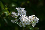 Spirea (Spiraea) blooms on June 5, 2017, in Salmon, Idaho..  (© 2017 Cindi Christie/Cyanpixel)