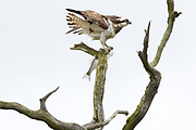 Osprey (Pandion haliaetus) with freshly caught fish. Dorset, UK. The birds are regular visitors to Poole Harbour as they migrate to Africa for the winter.