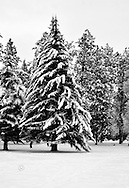 Snow covered tree in Manitou Park