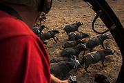 African buffalo (Syncerus caffer) & helicopter<br /> Liwonde National Park, MALAWI, Africa<br /> To be tested by an international veterinary team testing buffalo for foot-and-mouth disease in a trans-border veterinary effort. Tests include a 'Probang' throat scrape and blood test. Chopper used as a darting platform. Pilot Barney O'HaraAfrican buffalo (Syncerus caffer) & helicopter<br /> Liwonde National Park, MALAWI, Africa<br /> To be tested by an international veterinary team testing buffalo for foot-and-mouth disease in a trans-border veterinary effort. Tests include a 'Probang' throat scrape and blood test. Chopper used as a darting platform. Pilot Barney O'Hara