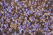 Flower Petals<br /> Rewa River<br /> Rainforest<br /> GUYANA. South America