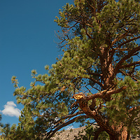 A tree reputed to be the world's largest Jeffrey Pine (Pinus jeffreyi) grows in Inyo National Forest in the eastern Sierra Nevada of California. For its protection,  its precise location is publically disseminated. .