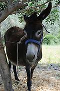 Golan, Qazrin, Esel, antike Ausgrabung Ancient Qazrin Park, Israel.|.Golan,Qazrin, donkey, Ancient Qazrin Park, Israel.