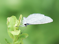 A Summer Azure butterfly at Pinetum East in Central Park