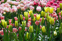 Tulipa 'First Proud' and 'Angelique'