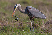 A great blue heron (Ardea herodias) eats a garter snake that it caught in the Ridgefield National Wildlife Refuge in Washington state. The heron stalked the snake in the grass and after catching it, tossed and turned the snake for two minutes so it was able to swallow it whole.