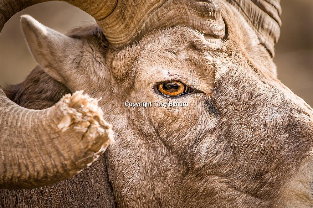 huge bighorn ram close up on eye face horn