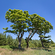 Sycamore trees at West Otter Ferry, Argyll & Bute, Scotland.