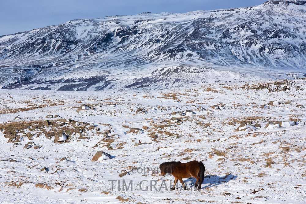 Single dark brown Icelandic pony in glacial landscape of South Iceland with Uthlioarhraun mountains behind