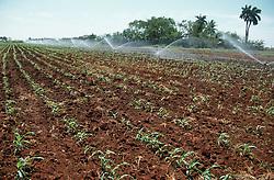 Field of maize growing on a farm near Havana; Cuba,