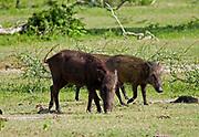 Two wild boar grazing in the open, Yala National Park, Sri Lanka
