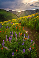 Sunlight streams through a break in the clouds as the Summer wildflowers catch the last glimpse of the day in Utah's Albion Basin.