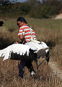 BAICHENG, CHINA - SEPTEMBER 17: (CHINA OUT)<br /> <br /> Tourist Get Attacked By Red-Crowned Crane<br /> <br />  A tourist gets attacked by a red-crowned crane at Xianghai National Nature Reserve on September 17, 2014 in Baicheng, Jilin province of China. Two tourists got attacked by a red-crowned crane in Baicheng on Wednesday. <br /> ©Exclusivepix