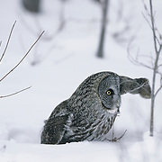 Great Gray Owl (Strix nebulosa) hunting mice under the snow. Canada