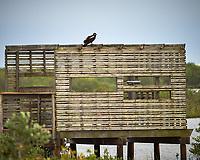 Turkey Vulture. Black Point Wildlife Drive, Merritt Island National Wildlife Refuge. Image taken with a Nikon Df camera and 300 mm f/4 lens (ISO 500, 300 mm, f/4, 1/1250 sec).
